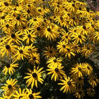 Rudbeckia (Bulgări de soare) Goldstrum imagine 4