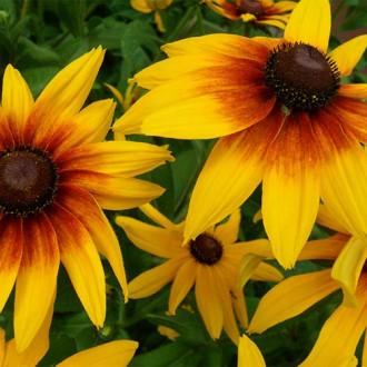 Rudbeckia (Bulgări de soare) Maxima imagine 5