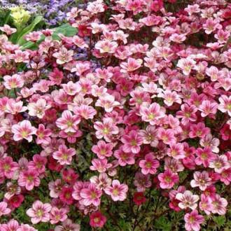 Saxifraga Pixie Rose imagine 1