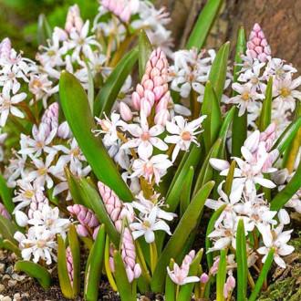 Scilia Bifolia Rosea imagine 2