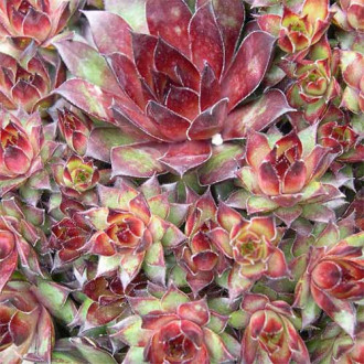 Sempervivum (Urechelniță) Bronco imagine 4