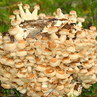 ciuperci de grăsime de ciuperci