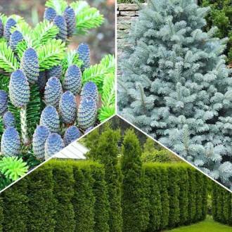 Super ofertă! Conifere Magic Forest. set de 3 puieţi
