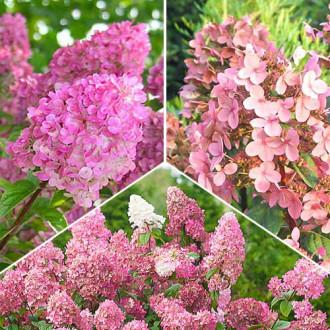 Super ofertă! Hortensii Pink Sensation, set de 3 soiuri imagine 4