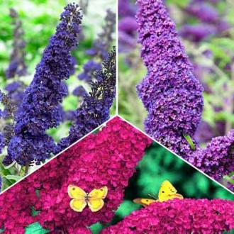 Super ofertă! Liliac de vară Trio, set de 3 soiuri