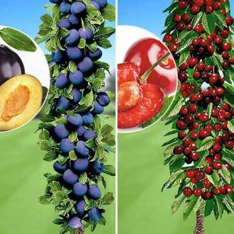 Super ofertă! Pomi columnari Deliciul fructelor, set de 2 soiuri