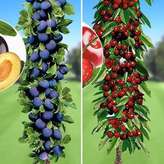 Super ofertă! Pomi columnari Deliciul fructelor, set de 2 soiuri imagine 4