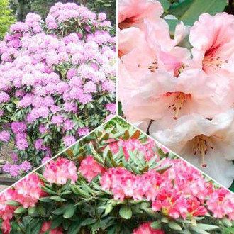 Super ofertă! Rhododendroni Trio, set de 3 soiuri imagine 5