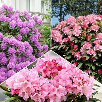 Super ofertă! Rhododendroni Trio, set de 3 soiuri imagine 5