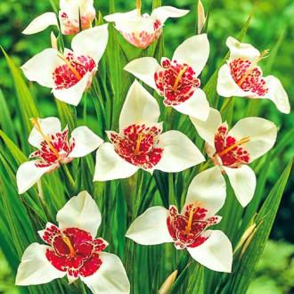 Tigridia Alba Grandiflora
