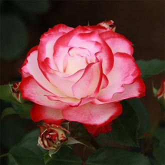 Trandafir floribunda Prince De Monaco imagine 4