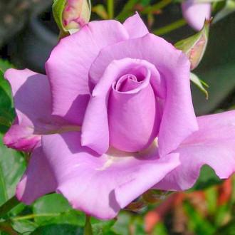 Trandafir teahibrid Blue & Violet imagine 6