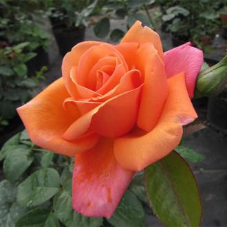 Trandafir teahibrid Bicolette imagine 4