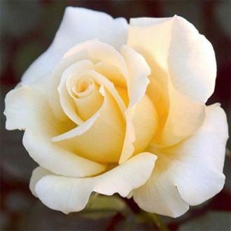 Trandafir teahibrid Casanova imagine 1