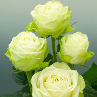 Trandafir teahibrid Green