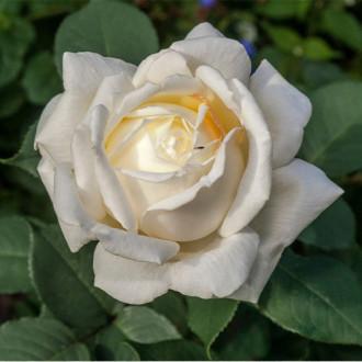 Trandafir teahibrid Virgo imagine 1