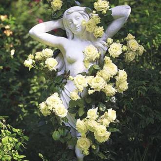 Trandafir urcător Green