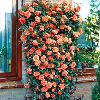Trandafir urcător Orange