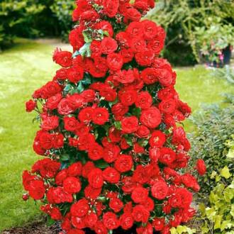 Trandafir urcător Red