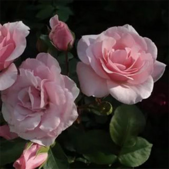 Trandafir floribunda Diademe Rose imagine 7