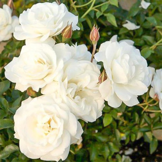 Trandafir floribunda Diademe White imagine 8