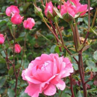 Trandafir floribunda Tom-Tom imagine 1