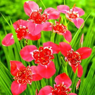 Tigridia Lilac