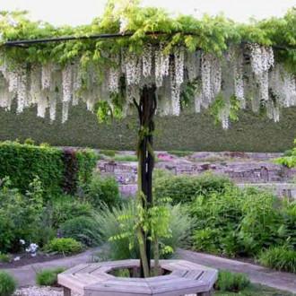 Glicină (Wisteria sinensis) Alba