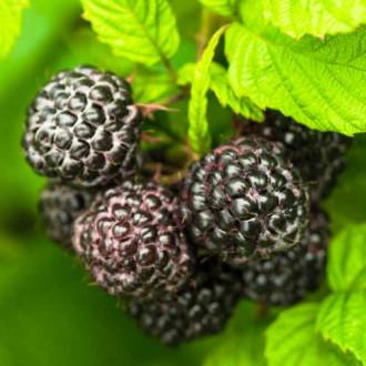 Zmeur negru Black Jewel imagine 6
