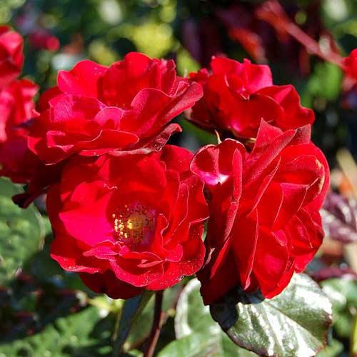 Trandafir floribunda Europana