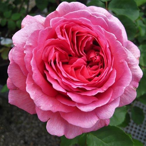 Trandafir floribunda Frida imagine 1 articol 3651