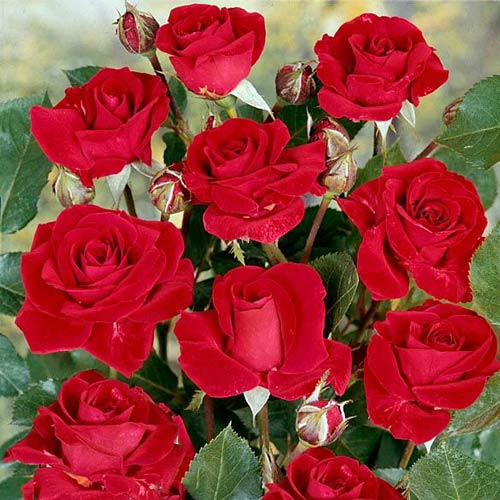 Trandafir floribunda Nina