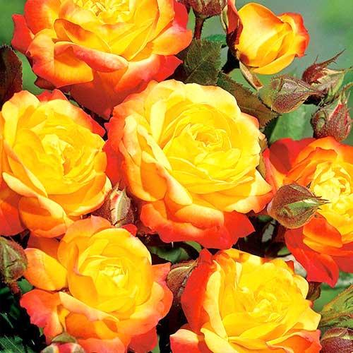 Trandafir floribunda Orange & Red imagine 1 articol 3609