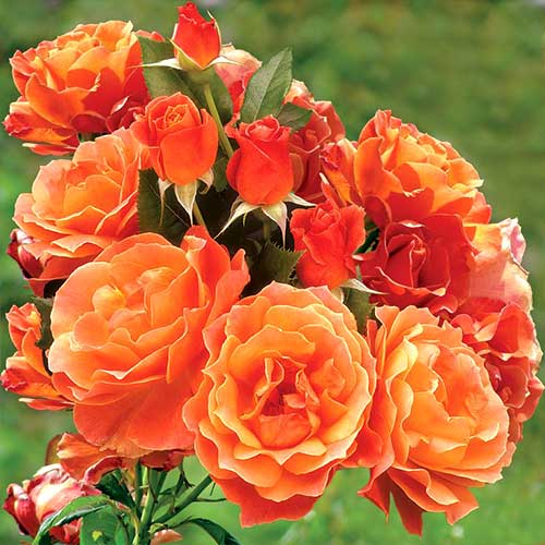 Trandafir floribunda Orange imagine 1 articol 3608