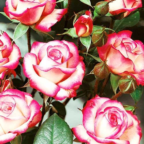 Trandafir floribunda Pink & White imagine 1 articol 3611