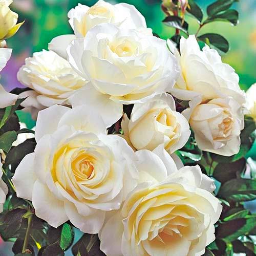 Trandafir floribunda White