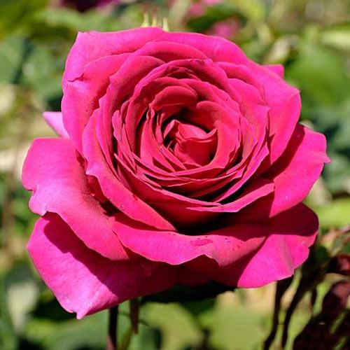Trandafir teahibrid Big Purple imagine 1 articol 2105