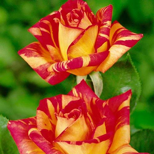 Trandafir teahibrid Caribia imagine 1 articol 3612-3