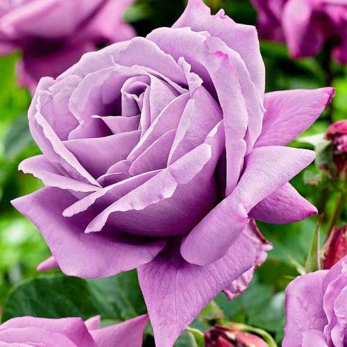 Trandafir teahibrid Charlie imagine 1 articol 2725