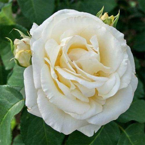 Trandafir teahibrid Chopin imagine 1 articol 2142
