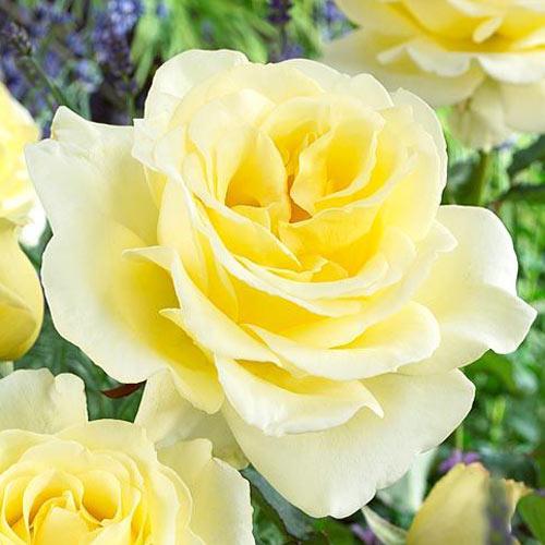 Trandafir teahibrid Elina imagine 1 articol 2145