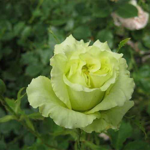 Trandafir teahibrid Green Peace imagine 1 articol 3663