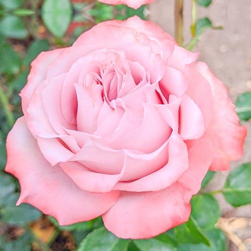 Trandafir teahibrid Lilu Wonder