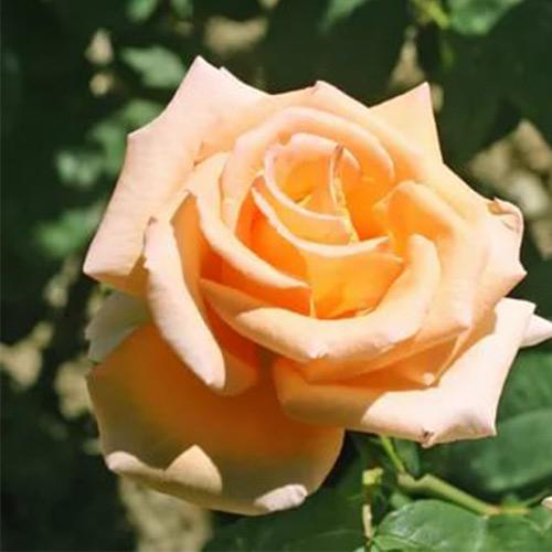 Trandafir teahibrid Old Gold imagine 1 articol 3666