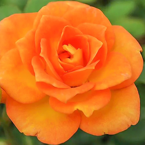 Trandafir teahibrid Orange Delight imagine 1 articol 3667