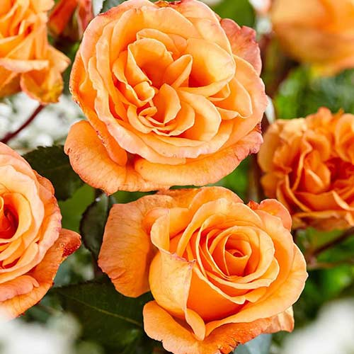 Trandafir teahibrid Orange imagine 1 articol 3621
