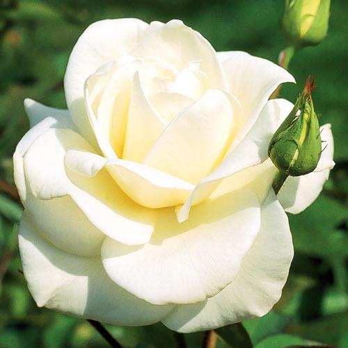 Trandafir teahibrid Pascali imagine 1 articol 2130