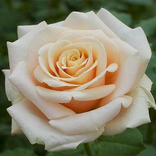 Trandafir teahibrid Paul Richard imagine 1 articol 3668