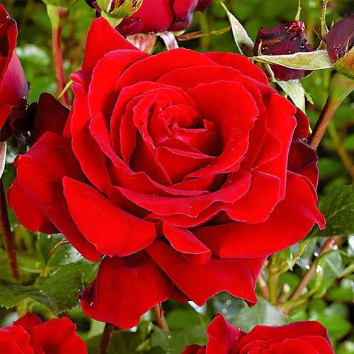 Trandafir teahibrid Red imagine 1 articol 3625