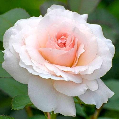 Trandafir teahibrid Silvia imagine 1 articol 2137